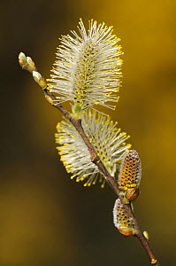 Pussy willow / Sallow (Salix caprea) catkins,  Cornwall, UK. April   .  -  Ross Hoddinott