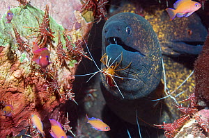 Yellow-edged moray eel (Gymnothorax flavimarginatus) being cleaned by a Hump-back cleaner shrimp (Lysmata amboinenis) with Hinge-beak prawn / Durban shrimps (Rhynchocinetes durbanensis) on coral rock... - Georgette Douwma