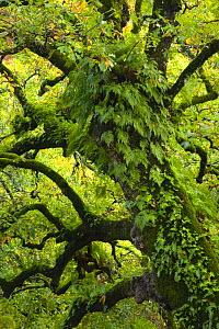 Large oak tree {Quercus sp} with ferns growing on trunk, Alcornocales NP, Cadiz, Andalucia, Spain - Juan Carlos Munoz