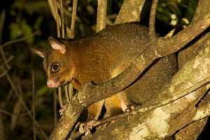 Common brushtail possum (Trichosurus vulpecula) in tree, Queensland, Australia - Tim Laman