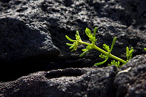 Plant growing on volcanic lava, Floreana Island, Galapagos, January - Juan Carlos Munoz