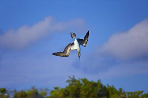 Blue footed booby {Sula nebouxii} diving, Galapagos, January  -  Juan Carlos Munoz