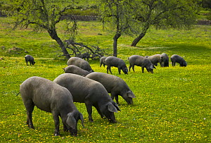 Herd of Spanish black pigs grazing, Sevilla, Andaluc�a, Spain, March 2008  -  Juan Carlos Munoz