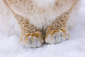 Lynx (Lynx lynx) close up of front legs and paws in snow, captive, Finland - Juan Carlos Munoz