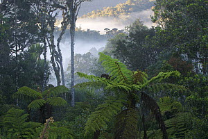 Mountain rainforest with mist in the early morning, near Mount Hagen, Enga Province, Papua New Guinea, August 2004  -  Tim Laman