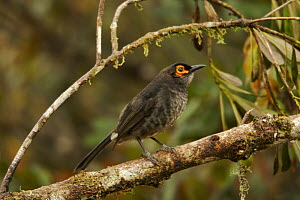 Common smoky honeyeater (Melipotes fumigatus) on a branch in the vicinity of Mt. Hagen, Enga Province, Papua New Guinea  -  Tim Laman