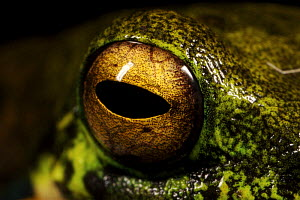 Tree frog, close-up of eye, Crater Mountain Wildlife Management Area, Eastern Highlands Province, Papua New Guinea - Tim Laman