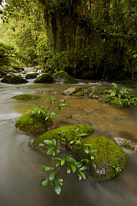 Rainforest stream with moss covered trees and rocks, Crater Mountain Wildlife Management Area, Eastern Highlands Province, Papua New Guinea, September 2005  -  Tim Laman