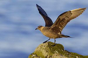 Arctic skua (Stercorarius parasiticus) landing on coastal cliffs in evening sunlight, Shetland Islands, Scotland, UK, July  -  Andrew Parkinson