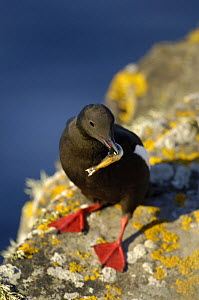 Black guillemot (Cepphus grylle) with a fish in its beak, evening light, Shetland Islands, Scotland, UK, July  -  Andrew Parkinson