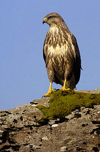 Common buzzard (Buteo buteo) perched on rock in bright winter sunlight, Isle of Mull, Scotland, UK - Andrew Parkinson