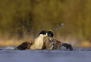 Canada geese (Branta canadensis) with necks entwined during a fight in a territorial dispute, Derbyshire, UK  -  Andrew Parkinson