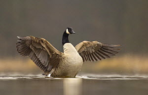 Canada goose (Branta canadensis) drying its wings after bathing, Derbyshire, UK  -  Andrew Parkinson
