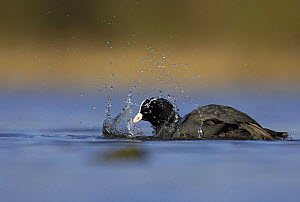 Coot (Fulica atra) bathing at dawn, Derbyshire, UK, March  -  Andrew Parkinson