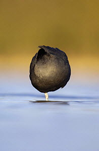 Coot (Fulica atra) forming an almost perfect circle as it roosts at dawn, Derbyshire, UK, March  -  Andrew Parkinson