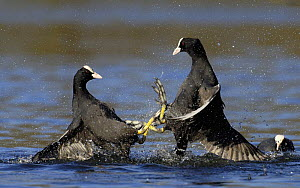 Coots (Fulica atra) fighting in a territorial dispute, Nottinghamshire, UK  -  Andrew Parkinson