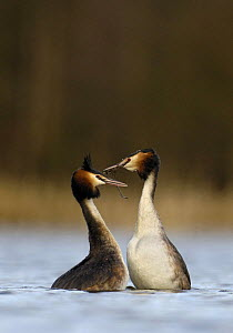 Great crested grebe (Podiceps cristatus) pair during part of their elaborate courtship called the 'weed dance', Derbyshire, UK, March - Andrew Parkinson
