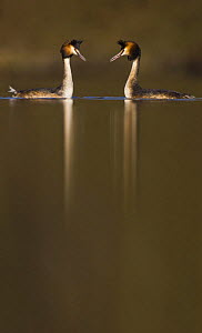 Great crested grebe (Podiceps cristatus) pair during part of their elaborate courtship ritual, Derbyshire, UK, March - Andrew Parkinson