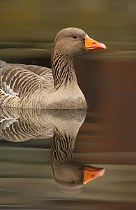 Greylag goose (Anser anser) on the River Lea, Hackney Marshes, London, England  -  Andrew Parkinson