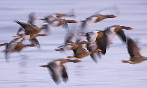 Group of Greylag geese (Anser anser) flying in the half light before dawn, Snettisham RSPB reserve, Norfolk, UK, September  -  Andrew Parkinson
