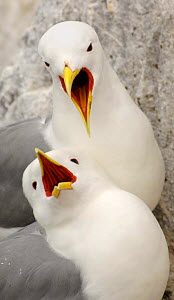 Two Kittiwakes (Rissa tridactyla) greeting one another after one returns to the nest site, Farne Islands, UK  -  Andrew Parkinson
