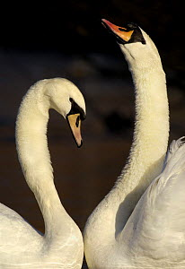 Mute swan (Cygnus olor) pair engaged in a courtship dance, Nottinghamshire, UK, February - Andrew Parkinson
