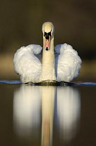 Mute swan (Cygnus olor) territorial adult, aggressive display posture, Derbyshire, UK, March - Andrew Parkinson