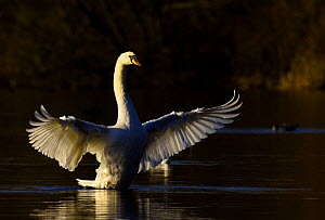 Mute swan (Cygnus olor) stretching its wings at dawn, Nottinghamshire, UK, December  -  Andrew Parkinson