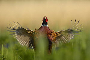 Male Pheasant (Phasianus colchicus) whirring its wings after crowing, Norfolk, UK, May  -  Andrew Parkinson