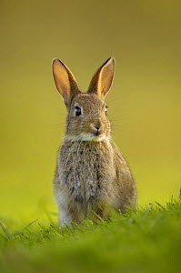 Young European rabbit (Oryctolagus cuniculus) sitting alert, in the last rays of evening light, Norfolk, UK, June  -  Andrew Parkinson