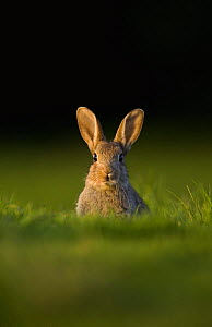 Young European rabbit (Oryctolagus cuniculus) sitting in the last rays of evening light, Norfolk, UK, June  -  Andrew Parkinson