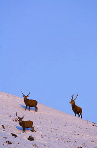 Red deer (Cervus elaphus) stags with their thick winter coats in snow, late evening light, Monadhliath Mountains, Scotland, UK, December - Andrew Parkinson