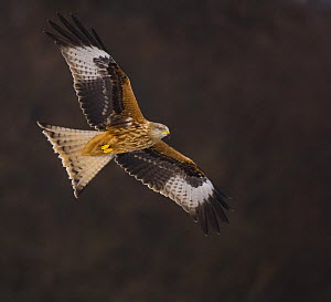 Red kite (Milvus milvus) in flight, Gigrin Farm, Powys, Wales, February - Andrew Parkinson