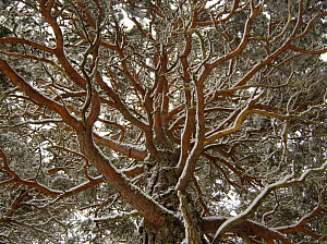 Scots pine (Pinus sylvestris) a mature tree covered in snow, Cairngorms National Park, Scotland, UK, February  -  Andrew Parkinson