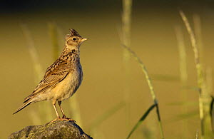 Skylark (Alauda arvensis) perched on a dry stone wall at dawn, Derbyshire, UK, June - Andrew Parkinson