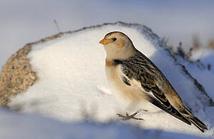 Snow bunting (Plectrophenax nivalis) amongst snow covered rocks, Cairngorm Mountains, Scotland, UK, February  -  Andrew Parkinson