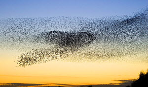 Common starling (Sturnus vulgaris) flock moving to avoid predators near their night time roost site, Scottish Borders, Scotland, UK  -  Andrew Parkinson