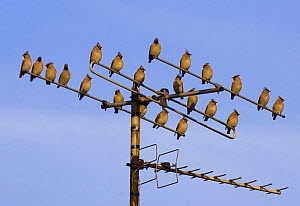 Bohemian waxwings (Bombycilla garrulus) perched on a TV aerial, Nottinghamshire, UK, January  -  Andrew Parkinson