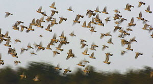Wood pigeon (Columba palambus) flock takes flight from a field of corn stubble, Derbyshire, UK, January  -  Andrew Parkinson