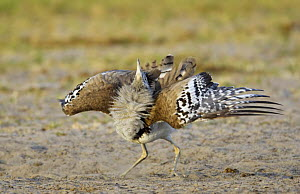 Kori bustard (Ardeotis kori) displaying, Etosha National Park, Namibia, January - Tony Heald