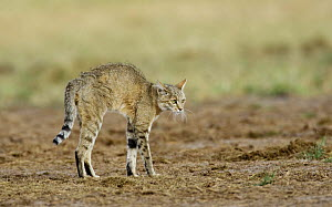 African wildcat (Felis sylvestris lybica) arching back in combined offensive and defensive posture, Etosha National Park, Namibia, January  -  Tony Heald