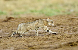 African wildcat (Felis sylvestris lybica) defensive retreat posture, Etosha National Park, Namibia, January  -  Tony Heald
