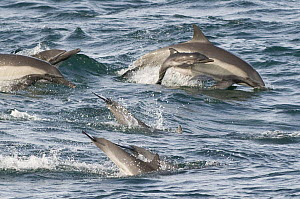 Long beaked common dolphins (Delphinus capensis) with very young calf (probably less than a day old - wrinkly skin and floppy tail are good indicators) Baja California, Mexico.  -  Mark Carwardine