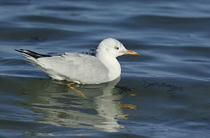 Slender billed gull (Chroicocephalus genei) on calm sea. Dhofar, Oman.  -  Hanne & Jens Eriksen