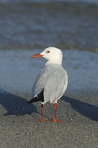 Slender billed gull (Chroicocephalus genei) on beach. Dhofar, Oman.  -  Hanne & Jens Eriksen