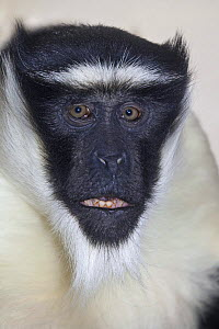 Male Roloway monkey (Cercopithecus diana roloway) captive, from Ghana and Ivory Coast, Critically Endangered Species  -  Rod Williams