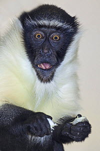 Female Roloway monkey (Cercopithecus diana roloway) captive, from Ghana and Ivory Coast, Critically Endangered Species  -  Rod Williams