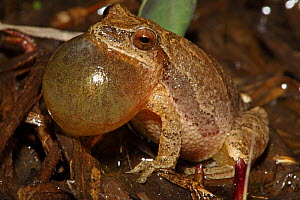 Spring Peeper tree frog (Pseudacris crucifer / Hyla crucifer) male calling to attract female, vocal sac inflated, NY, USA  -  John Cancalosi