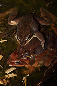"""Wood Frog (Rana sylvatica / Lithobates sylvaticus) several males attempting to mate with a single female, males compete for mates by """"scramble competition"""", NY, USA  -  John Cancalosi"""