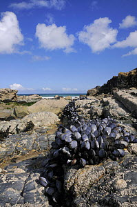 Common mussels (Mytilus edulis) exposed at low tide. North Cornwall, UK.  -  Nick Upton